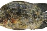 Esemplare rarissimo pescato nel mare di Sciacca