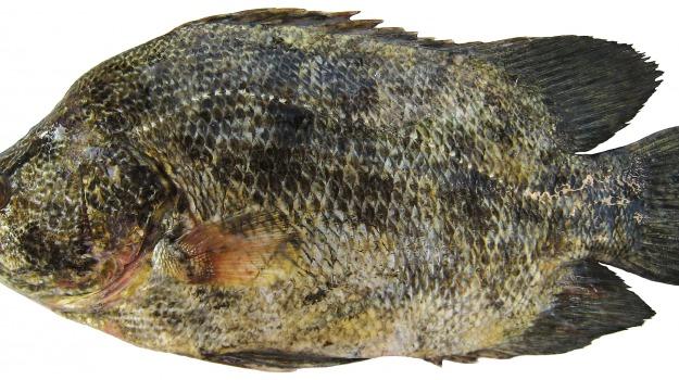 ispra, lobotes surinamensis, pesca, pesce foglia, Sicilia, Agrigento, Vita