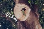 Colonia di pappagalli nidifica a Palermo