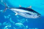 Favignana, quote pesca del tonno: il sindaco contesta la normativa