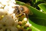 Contro la moria delle api, arriva la super regina