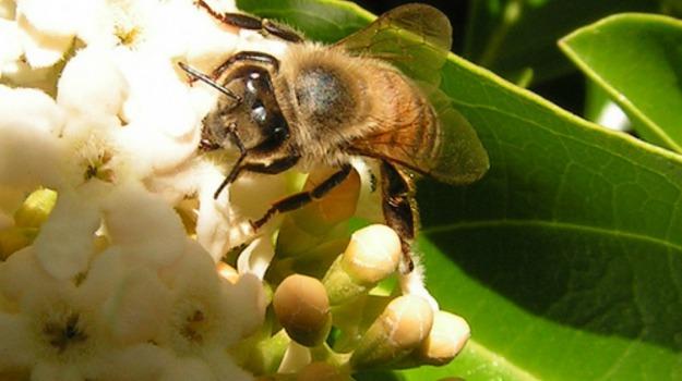 api, cammelli, malattie, moria, regina, Sicilia, Società