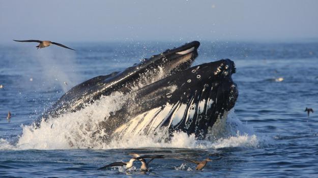 animali, balene, nave, stress, studio, Sicilia, Vita