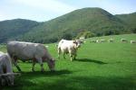 A Modica la prima rassegna delle razze bovine Charolaise e Limousine