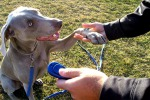 Condotta, riporto o agility: cani concentrati con un click