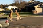 """""""Incontro di boxe"""" tra due canguri in Australia: il video fa il giro del web"""