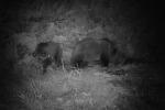 I cuccioli dell'orsa Daniza stanno bene e mangiano da soli