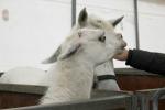 Animali da circo maltrattati, maxi sequestro in Sardegna