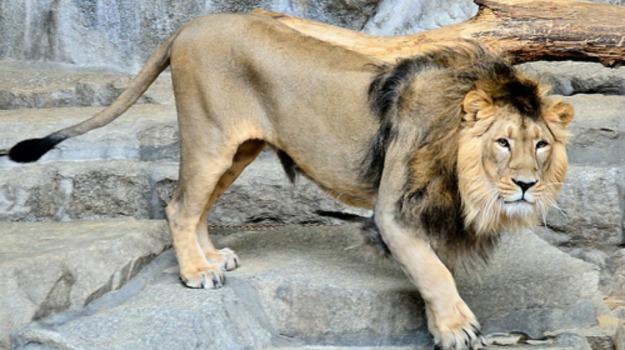 animali, denti, leoni, malattia, Sicilia, Società
