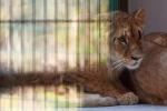 Polonia, tornano i leoni allo zoo di Danzica