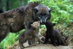 Bagni di Lucca, soccorso un cucciolo di lupo debilitato