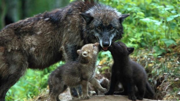 animali, lupo, ritrovamento, storia, Sicilia, Vita