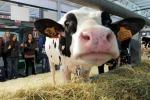 A Cremona la mucca si fa bella... dal parrucchiere