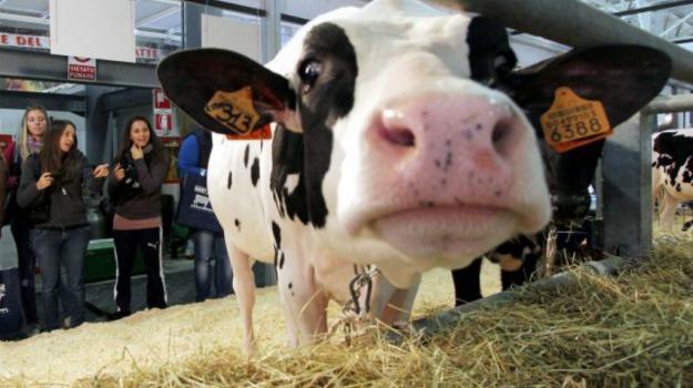 animali, mucche, rassegna, zooprofilattico, Sicilia, Vita