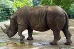 Muore in Kenya raro esemplare di rinoceronte bianco
