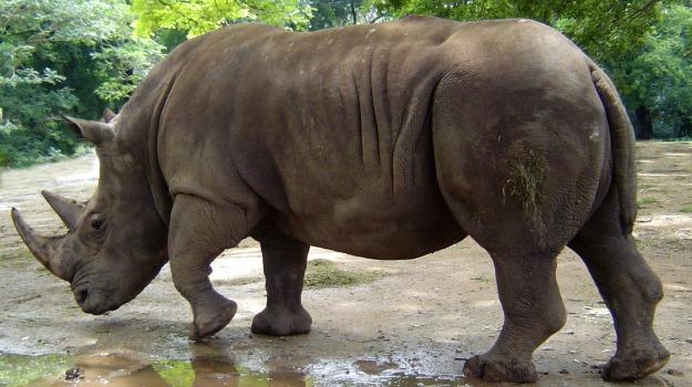 animali, rinoceronte, riserva, zoo, Jana Mysliveckova, Sicilia, Vita