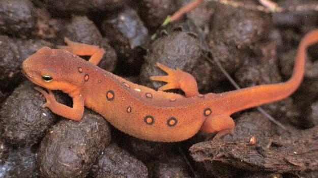 animali, estinzione, minaccia, salamandra, Sicilia, Vita