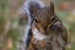 Gara culinaria con carne di scoiattolo, in Inghilterra insorgono gli animalisti