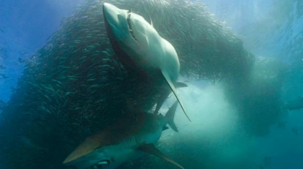 australia, squali, Sicilia, Società