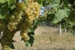 """Nelle """"Città del vino"""" meno disoccupati, tra queste Marsala e Pantelleria"""