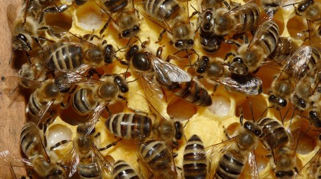 api, insetti, USA, Sicilia, Mondo