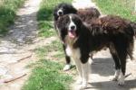 Cane di mannara, raduno per il riconoscimento della razza a Enna