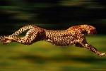 Sos ghepardi, lottano contro l'estinzione: rischiano di sparire entro i prossimi vent'anni - Video