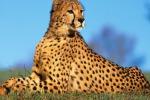 Ghepardi verso l'estinzione, sos degli scienziati: in natura soltanto 7.100