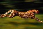 Troppa energia per cercare le prede, ghepardi decimati