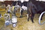 Stress e afa, anche le mucche soffrono e producono meno latte