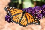 Farfalle migranti, il mistero di un volo di 4 mila chilometri fra Usa e Messico