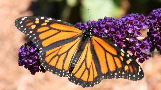 estinzione, farfalle, messico, migrazione, USA, Sicilia, Vita