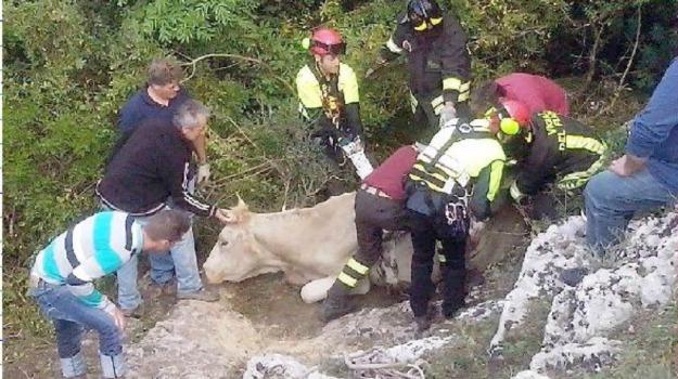 buscemi, mucca salvata, Siracusa, Cronaca