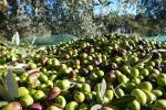 Ondata di furti di olive nelle campagne di Sciacca