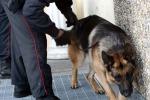 Droga nell'aglio per sviare cani, ma agenti sentono odore: preso