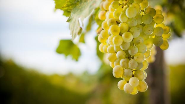 uva pantelleria, viticoltura, Trapani, Economia
