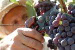 Vendemmia, Coldiretti: calo record dei raccolti anche in Sicilia ma vola l'export