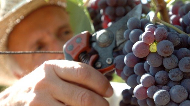 Sicilia, uva, vendemmia, vini, Sicilia, In Sicilia così