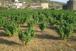 Pantelleria, nasce l'itinerario della vite ad Alberello