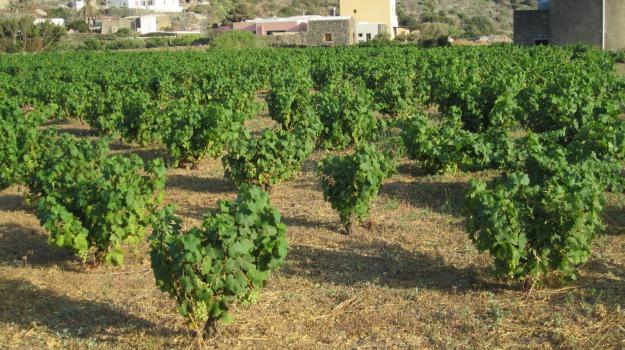 alberello, Pantelleria, unesco, vite, Sicilia, Cultura