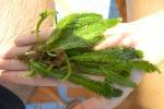 Alga aliena sulle coste della Sicilia, i dati del progetto Caulerpa