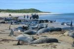Nuova Zelanda: 57 balene spiaggiate, 21 salvate