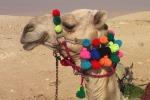 Diminuiscono i cammelli, in crisi la fiera di Puhskar