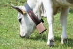Nuovo caso di mucca pazza in un allevamento bovino della Gran Bretagna