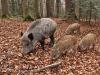 Avvistati due cinghiali nella Valle dei Templi di Agrigento ma degli animali non 'è traccia