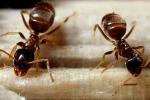 Studio analizza le formiche della Turchia: sono le più aggressive