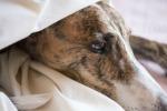 Altro che cani da ricchi: i levrieri fra maltrattamenti e mattanze