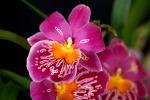 Senza foglie nè radici: scoperta in Australia una rara orchidea
