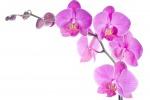 Pronta la prima mappa del Dna dell'orchidea