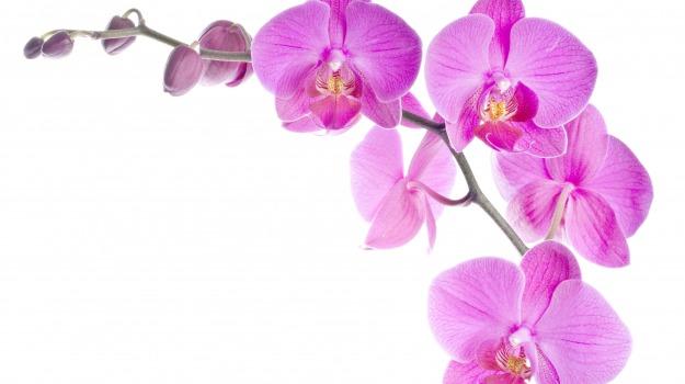 fiori, orchidea, piante, regina, Sicilia, Vita